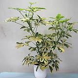 무늬홍콩야자,칼라홍콩야자1626-동일품배송,높이 58cm|