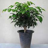 녹보수,중품1595-외목대,동일품배송,높이 50cm|happy tree