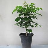 녹보수,중대품1596-공기정화식물,동일품배송|happy tree