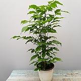 ,신종녹보수  녹보수 40~50|happy tree