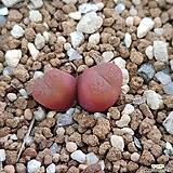 conophytum maughanii|