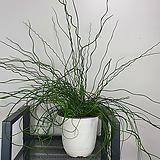 준쿠스 / 스프링골풀 / 공기정화식물 / 수경재배가능 / 한빛농원|
