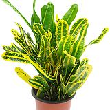노란줄크로톤|Codiaeum Variegatum Blume Var Hookerianum