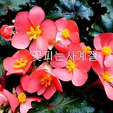 핑크샤워베고니아(풍성수형/2)-동일품배송|Begonia