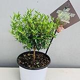 장미허브중품허브공기정화식물 20~25cm