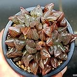 원종라즈베리교배종 19-52