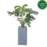 몬스테라 (시멘트사각완성분) 대품 인테리어식물 축하선물 회사식물 공기정화식물 카페식물|