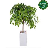 킹벤자민 (시멘트사각완성분) 대품 인테리어식물 축하선물 회사식물 공기정화식물 카페식물|