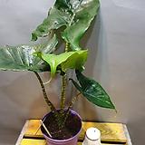 거북알로카시아