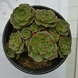 롱기시마|Echeveria longissima