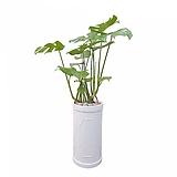 몬스테라 (시멘트원형롱완성분) 대품 카페인테리어 공기정화식물 축하화분|