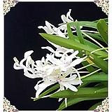 화제 완성분 Crassula Americana cv.Flame