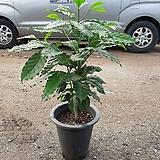 커피나무 
