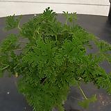 구문초|Pelargonium capitatum