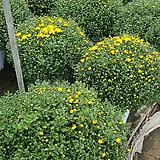 국화 노랑 특 가로약40~55cm 높이50~60cm|