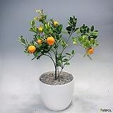 무료배송~유주나무(중품)-식물만
