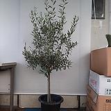 올리브나무/대품 /사진상품/높이150센치|