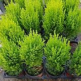 핫도그율마외목대율마허브공기정화식물507012970