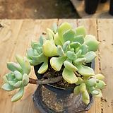 묵은 홍령(에그린원/자연군생목대굵고붉게물듬)-928|Graptoveria A GrimmOne