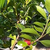 구아바/빨강(전체높이100-120cm) 