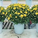 노란국화꽃 월동 공기정화|