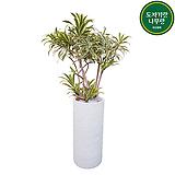 송오브인디아 (시멘트원형롱완성분) 인테리어식물 공기정화식물 카페식물 이사화분|
