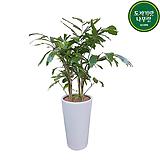 공작야자 야자나무 (사기 완성분) 흰색화분 축하화분 회사인테리어|