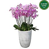 대형 핑크호접란 대품 개업선물 축하선물 승진선물 행사용식물 서양란 서양난|