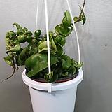 호야.카노사(진한쵸코색).꽃색깔예뻐요.향기좋은향.인테리어효과.공기정화식물.