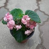 팝콘베고니아 Begonia