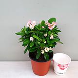 핑크꽃기린(꽃대소품) 