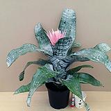 에크메아 파시아타(꽃대수형) 