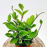 새집증후군 제거 식물 호야|