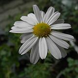 흰꽃구절초|