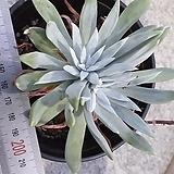 글라우카스화이트1|Dudleya glauca