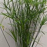 시페루스(중)/수중식물/수생식물/수경/대나무 