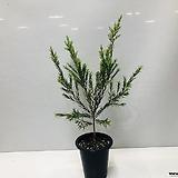 티트리나무(동일품배송 )