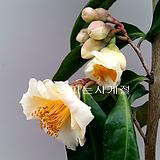 금성동백(꽃대 외목수형/1.)-동일품배송 