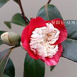복반동백(꽃대외목*5.)-동일품배송 