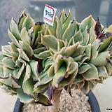 썬버스트철화묵은둥이|Aeonium Sunburst