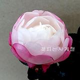 상부연동백(꽃대수형) 