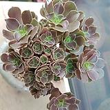 캐시미어바이올렛철화묵은둥이-철화풀림|Aeonium Velour