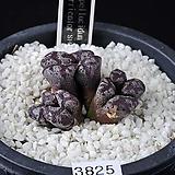 3825-Conophytum pellucidum terricolor SH1252  테리카라6두|