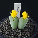 3828-Conophytum cv. 小菊の舞  소국의 무 2두|