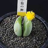 3829-Conophytum cv. 小菊の舞  소국의 무 2두|