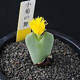 3830-Conophytum cv. 小菊の舞  소국의 무|