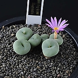 3834-Conophytum cv. Rugosa  루고사 6두|
