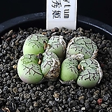 3835-Conophytum cv.안수희安秀姬7두|
