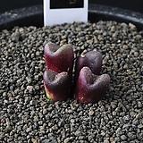 3840-Conophytum varians 바리안스4두|