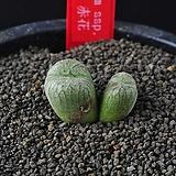 3848-C.ectipum ssp. Brownii  엑티펌  브라우니 적화2두|